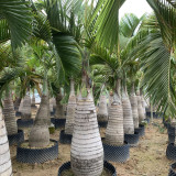 酒瓶椰子树哪里有卖 福建漳州3.5米酒瓶椰子树价格