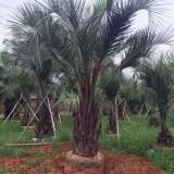 一米高布迪椰子价格 1-2米高椰子树苗批发
