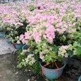 绿叶樱花三角梅盆栽 三角梅绿叶樱花价格