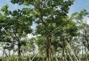 紫花风铃木哪里有树苗 基地紫花风铃木批发价格