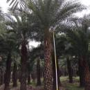 中东海枣多少钱一棵 5米6米7米中东海枣价格