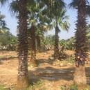 福建老人葵批发直销 6米高华盛顿棕榈多少钱