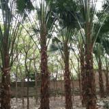 蒲葵树苗多少钱一棵 蒲葵种植批发基地