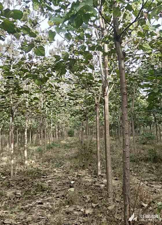 梓树10公分,12公分梓树价格,太康梓树