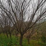 日本晚樱花苗哪里有卖 日本晚樱花树批发基地
