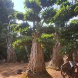 福建5米高造型榕桩景6米高造型榕桩景价格   求购造型榕桩景