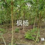 江苏枫杨树基地直销  枫杨树批发 枫杨树多少钱一棵