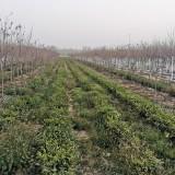 茶树苗基地批发  35公分高茶树苗供应