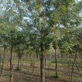12公分皂角树苗出售 苗圃直销皂角树苗报价