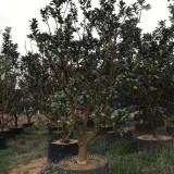 福建柚子树苗价格行情 柚子树产地直销供应