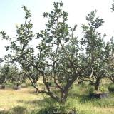 漳州柚子树苗低价出售 产地直销柚子树价格表