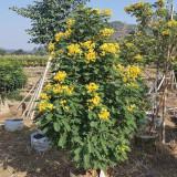 黄花槐种植基地 1.8米黄花槐批发报价表