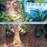 胡椒木杯苗价格 漳州胡椒木种植基地直发