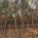 河南楸树价格行情 楸树种植基地