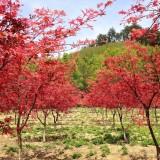 阜阳红枫出售价格 红枫种植基地