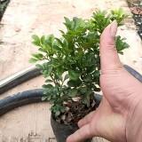 米兰多少钱一棵 福建米兰花种植基地批发