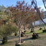 冠幅1.5米红枫市场价格 福建红枫树苗价格表