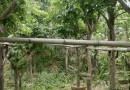龙眼树哪里有卖 基地批发直销3米龙眼树