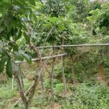 冠幅1米龙眼树价格 福建龙眼树批发供应