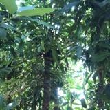 福建哪里有卖芒果树 芒果树苗批发价格