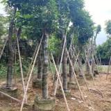 芒果树价格 芒果树批发 水果树绿化苗