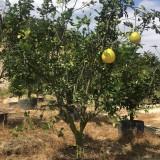 挂果柚子树价格 移植柚子树批发 成活率高