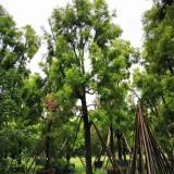 黄金香柳价格 求购黄金香柳 优良彩叶树种
