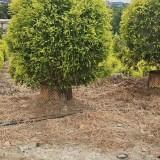 千层金价格 求购千层金优良彩叶树种