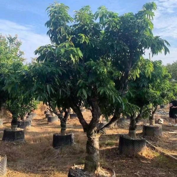 荔枝树价格 销售荔枝树苗 水果苗