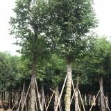 天竺桂袋苗价格 天竺桂袋苗哪里有 四川天竺桂基地供应