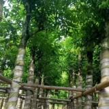 阴香树价格 阴香袋苗批发 福建阴香树苗种植基地