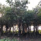 10-50公分黄葛树价格 公园绿化黄葛树大树价格
