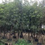 10-50公分大叶榕价格  行道 公园绿化苗木