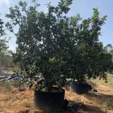柚子树价格 柚子树基地报价 价格优势 行道树 绿化树 气味芳香