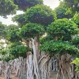 造型小叶榕价格 基地批发  全国供应 移植苗 成活率高