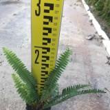 排骨草价格 排骨草基地报价 批发价格 地被植物
