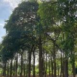 盆架子树多少钱一棵  盆架子树基地直销