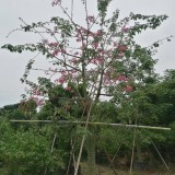 美人树价格 美丽异木棉价格 美人树报价 喜高温多湿 移植苗