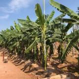 福建香蕉树苗价格 香蕉树苗基地批发 绿化庭院