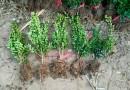 1米红花继木球价格 基地批发1.5米红花继木球