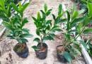 非洲茉莉价格 非洲茉莉批发 福建非洲茉莉地被苗