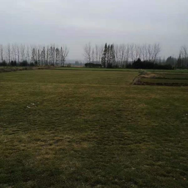 中华结缕草草坪哪里有卖 安徽中华结缕草出售报价