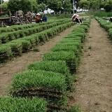 滁州中华结缕草产地直发 中华结缕草草坪出售