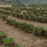 滁州马尼拉草坪价格 马尼拉草坪多少钱一方