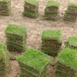 安徽马尼拉草坪供应 马尼拉草坪价格