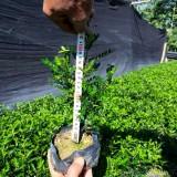 胡椒木袋苗 清香木批发 现货大量供应