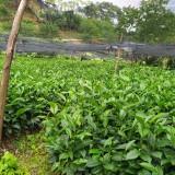云南大叶种茶树苗出售 普洱茶树苗批发价格