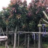 芒果袋苗 芒果树批发