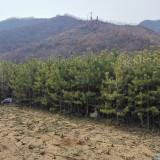 高2米樟子松价格 辽宁樟子松多少钱一棵