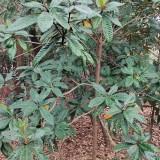 枇杷种植基地  江苏枇杷树价格
